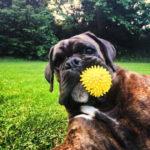 boxer-chien-jouet