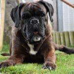 boxer-chien-portrait-face