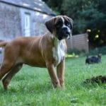 boxer-chien-profil