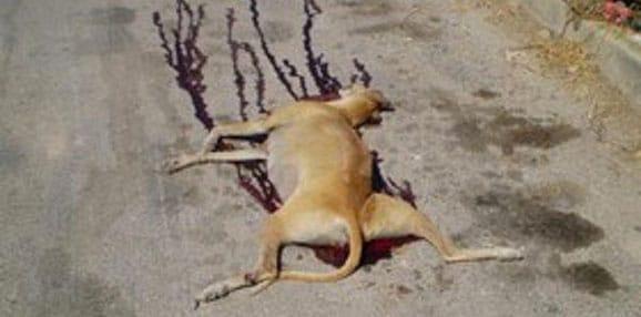 galgos-levrier-espagne-association-chasse-2