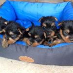 australian-silky-terrier-chiots