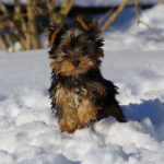 australian-silky-terrier-neige