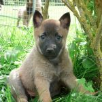 berger-belge-malinois-chiot-assis