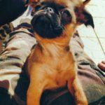 chien-petit-brabancon-chiot-interieur-450x600