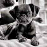 chien-petit-brabancon-chiot-noir-blanc