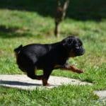 chien-petit-brabancon-courir