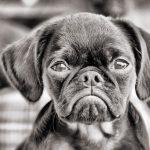 chien-petit-brabancon-noir-blanc