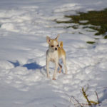 chihuahua-neige