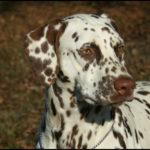 dalmatien-portrait