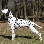 dalmatien-profil
