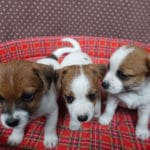 jack-russel-terrier-chiots