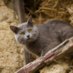 chat-chartreux-ferme