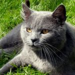 chat-chartreux-tete