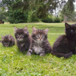 chat-maine-coon-chaton-herbe