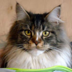 chat-maine-coon-interieur