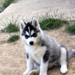 husky-siberien-chiot