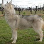 husky-siberien-profil