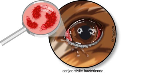 conjonctivite-bacterienne-bacterie-chien