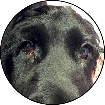 Conjonctivite du chien et œil suppuré