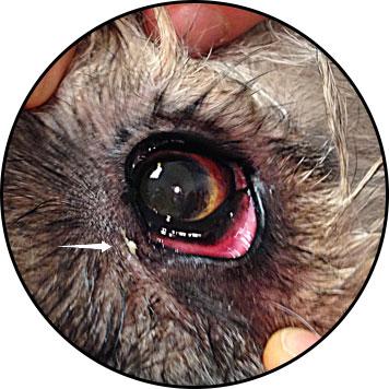 Conjonctivite du chien avec du pus dans l'œil