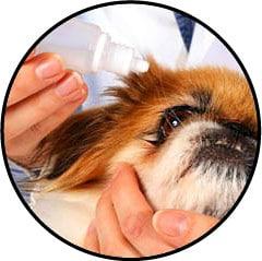 Conjonctivite du chien et traitement avec un collyre