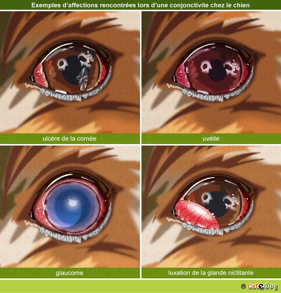 conjonctivite-glaucome-ulcere-cornee-uveite-luxation-glande-chien