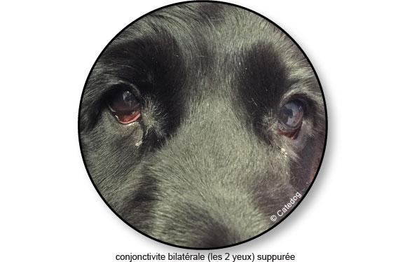 conjonctivite-oeil-yeux-rouge-chien