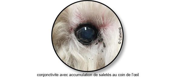 conjonctivite-oeil-yeux-suppure-chien