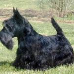 terrier-ecossais