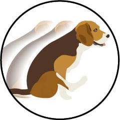 Glandes anales du chien et signe du traineau