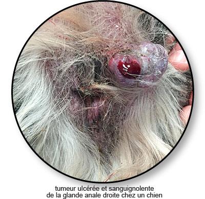Tumeur de la glande anale chez un chien