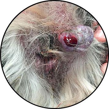 Tumeur et ulcère d'une glande anale chez un chien