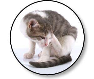 traitement-anti-puce-chat