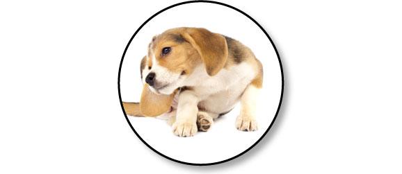 puces-puce-chien-gratte-antiparasitaire-antipuce