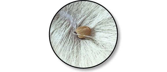 tique-poils-peau-chien-traitement