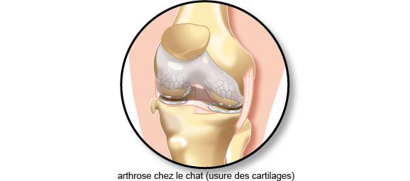 arthrose-usure-cartilages-chat-mord