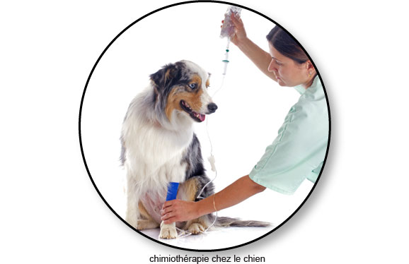 chimiotherapie-tumeur-cancer-chien