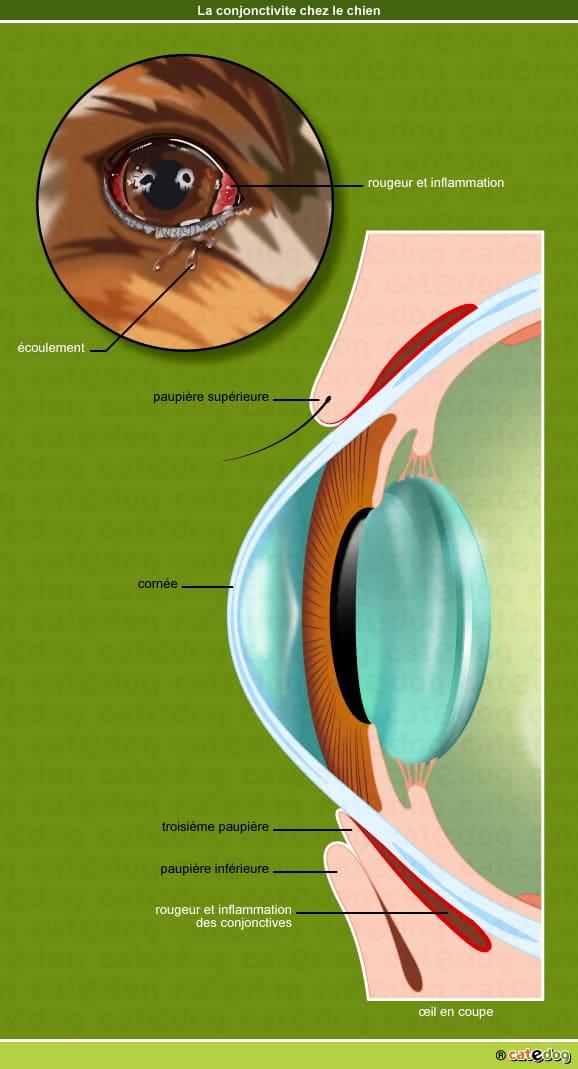 conjonctivite-oeil-chien-rougeur-catedog