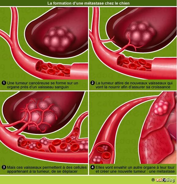 metastase-tumeur-maligne-cancer-cellule-chien