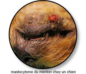 Tumeur mastocytome du menton chez un chien