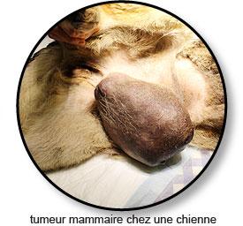 Grosse tumeur mammaire chez une chienne