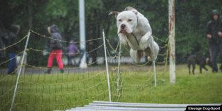 bouledogue-americain-sport-canin-chien