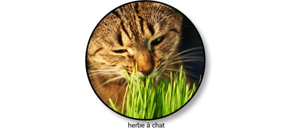 herbe-a-chat-purger-boule-poil