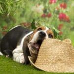 chiot-basset-hound-chapeau
