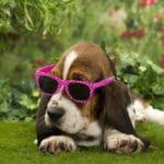 chiot-basset-hound-lunette