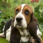 chiot-basset-hound-pelouse