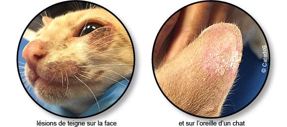 champignon-teigne-peau-poils-chat