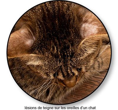Teigne sur les oreilles d'un chat