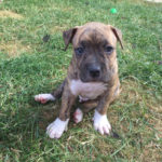 chiot-american-staffordshire-terrier-américain-assis