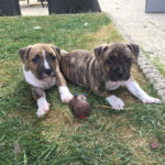 chiot-american-staffordshire-terrier-américain-duo